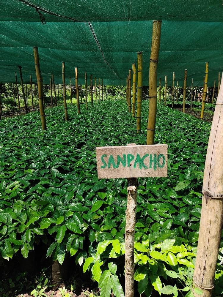 San Pacho Black Honey Beans Under Shade