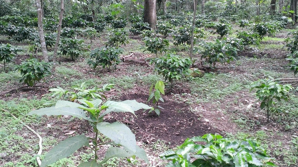 San Pacho Black Honey Plants